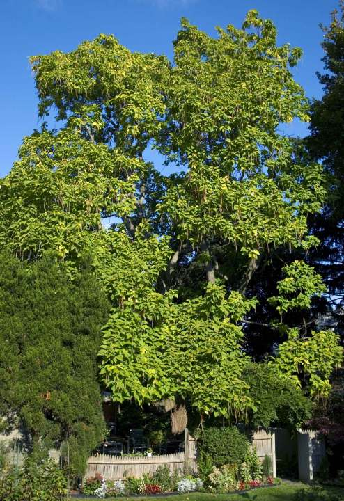 Images Of Arlington S Favorite Trees Arlington Trees