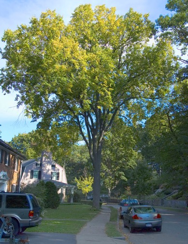 Elm on Brantwood Rd