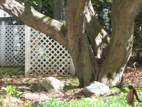 Japanese maple trunk