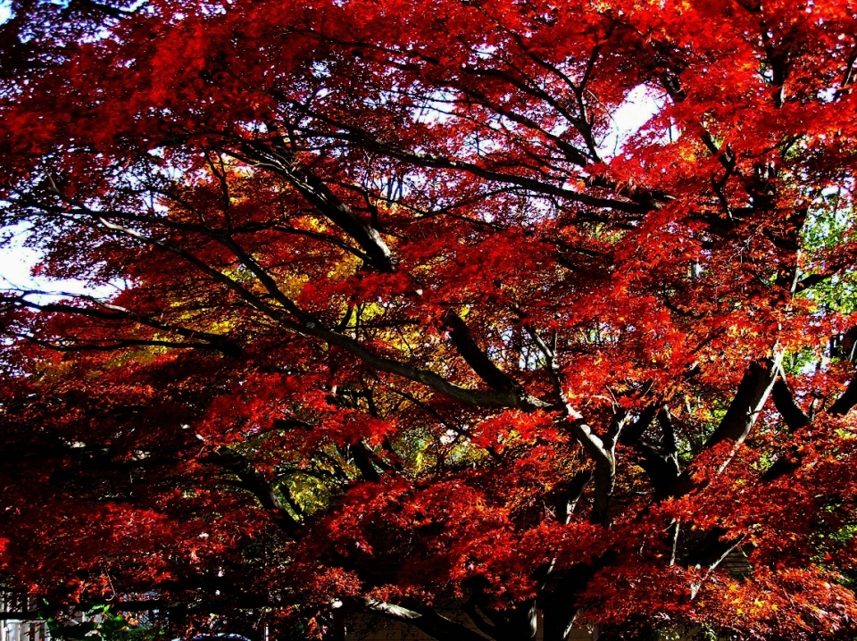 "Japanese Maple: ""The arborists are very impressed with the age and size of this beautiful specimen in my backyard on School Street."" Lynne Eisenberg"