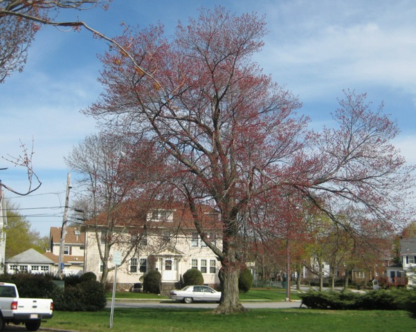 Red Maple on Lockeland Avenue