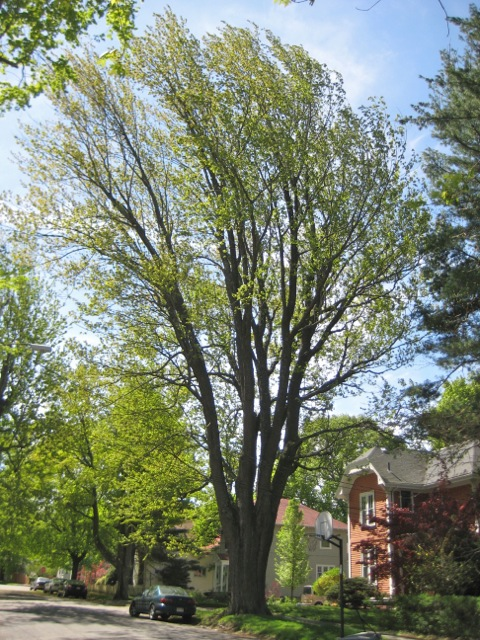 Silver Maple on Claremont Avenue