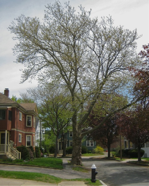 Sycamore at Wyman Terrace
