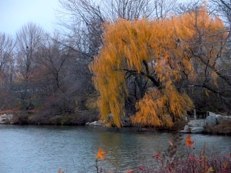 Willow at Spy Pond in fall