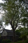 "Norway Maple, 51 Richfield Rd, 53"" DBH, 168"" circumference, 2015"