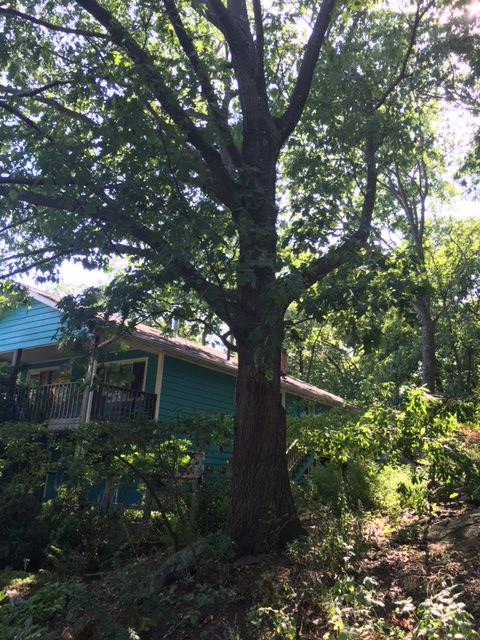big oak tree, Pamela Dr., Arlington