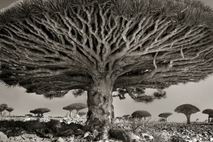 PPhoto by Beth Moon, Dragon Blood Tree